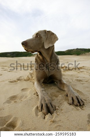 A beautiful image of a male weimeraner posing on the sand with the sun setting in the background. - stock photo