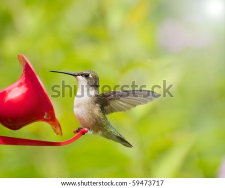A beautiful juvenile male ruby throat hummingbird perched at a feeder surrounded by flowers. - stock photo