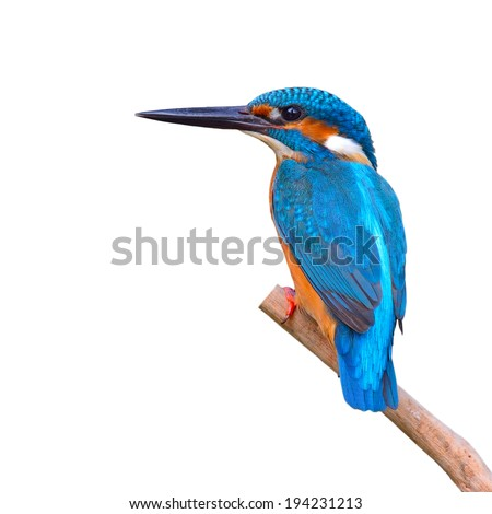 A beautiful Kingfisher bird, male of Common Kingfisher (Alcedo athis) sitting on a branch, back profile - stock photo