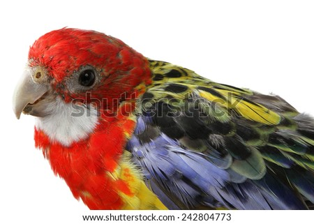 a beautiful large colorful parrot isolated on white background - stock photo