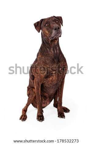 A beautiful large Labrador and Plott Hound mixed breed dog sitting against a white backdrop - stock photo