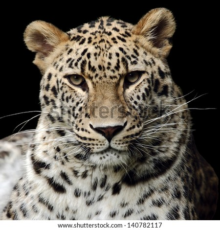 a beautiful leopard isolated on black - stock photo