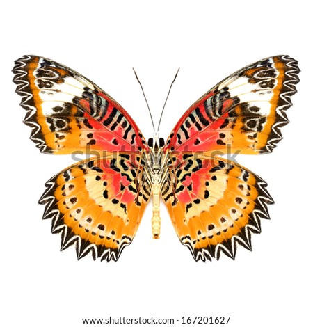 A beautiful Leopard Lacewing butterfly isolated on white background.(Cethosia cyane) - stock photo