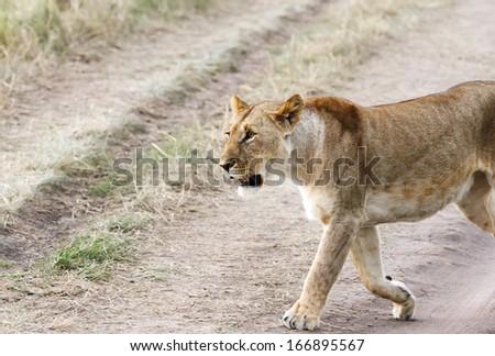 A beautiful lioness - stock photo
