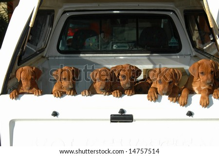 A beautiful litter of African Rhodesian Ridgeback hound dog puppies with cute expression in the faces standing in a pickup car and watching other dogs in the backyard outdoors - stock photo