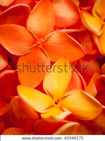 A beautiful macro shot of colorful and vibrant Jungle flame or Ixora flowers - stock photo