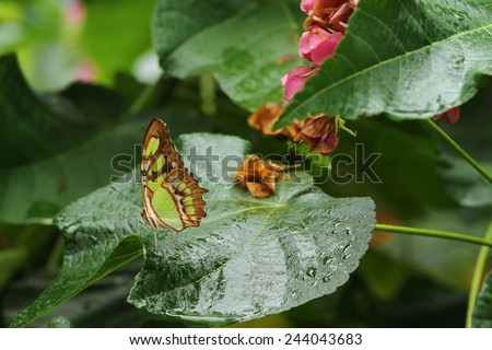 A beautiful Malachite butterfly on a wet leaf - stock photo
