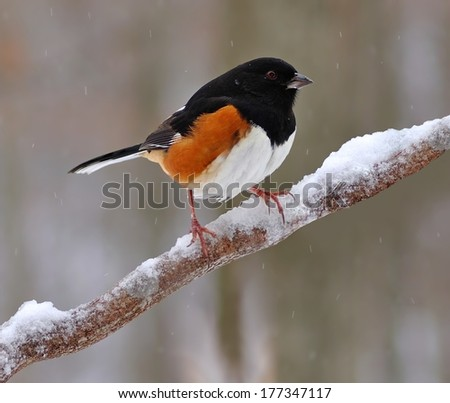 A beautiful male Eastern Towhee (Pipilo erythrophthalmus) on a snowy branch. - stock photo