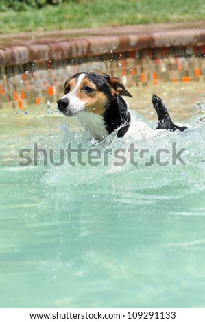 A beautiful male jack Russel dog is swimming in the pool,splashing,diving,jumping and playing in the cool water on hot summers day. - stock photo