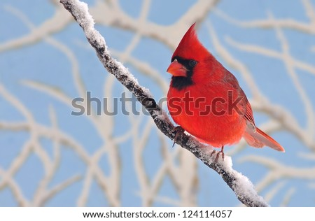 A beautiful male Northern Cardinal (Cardinalis cardinalis) on a snow- covered branch with snowy limbs and blue sky in the background. - stock photo