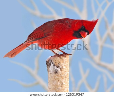 A beautiful male Northern Cardinal (Cardinalis cardinalis) on a snowy birch stump with snow- covered branches and blue sky in the background. - stock photo