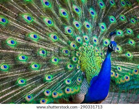 A beautiful male peacock with expanded feathers - stock photo