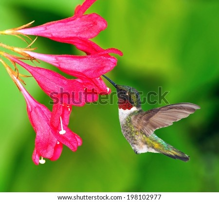 A beautiful male Ruby- throated Hummingbird (Archilochus colubris) at red weigela flowers. - stock photo
