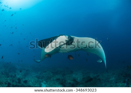 A beautiful manta ray gliding over a reef in clear blue water - stock photo