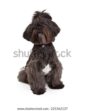 A beautiful Mixed Breed Small Dog sitting while looking off to the side.  - stock photo