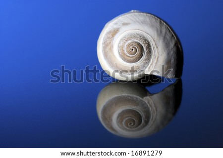 A beautiful moon snail sits on a blue reflective background. - stock photo