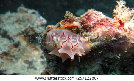 A beautiful nudibranch in Andaman sea. Thailand - stock photo