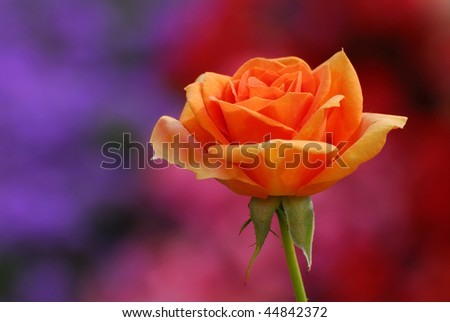a beautiful orange rose against a colored background - stock photo