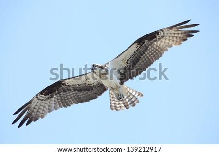A beautiful osprey in flight with wings spread wide - stock photo