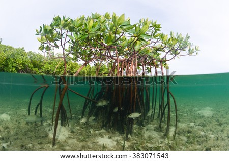A beautiful over-under image of a mangrove system in the Bahamas - stock photo