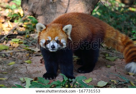 A beautiful panda outdoors - stock photo