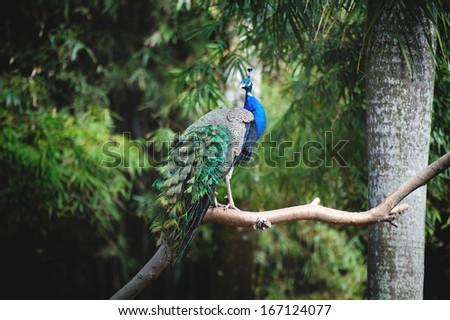 A beautiful peacock on a tree - stock photo