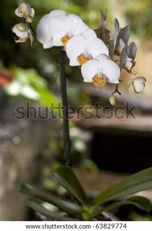 A beautiful phalaenopsis orchid caught in a tropical setting along some rustic stairs - stock photo