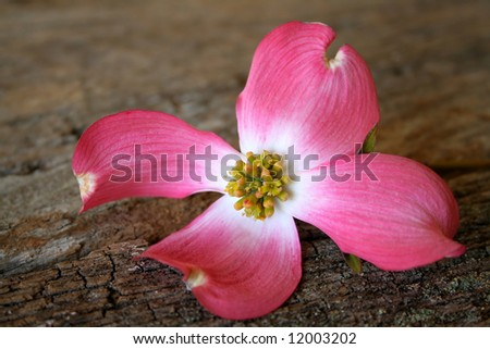 A beautiful pink dogwood bloom on an old piece of wood for a textured background. - stock photo