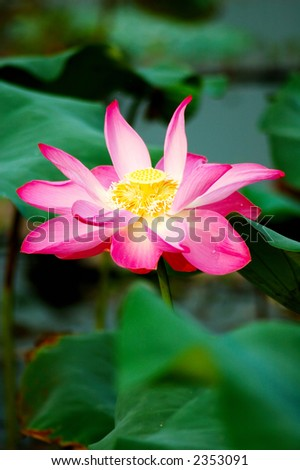 A beautiful pink lotus flower and leaves. Lotus is also a symbol of Buddhism. - stock photo