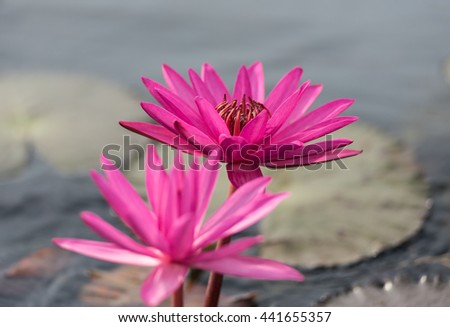 A beautiful pink waterlily or lotus flower in pond, Pink Lotus flower beautiful lotus, water lily, lotus in nature - stock photo