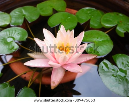 A beautiful pink waterlily or lotus flower with green leaves in pond. - stock photo