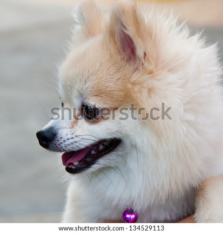 A beautiful pomeranian dog - stock photo