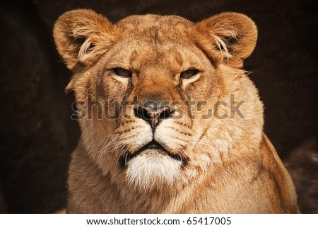 a beautiful portrait of a female lion - stock photo