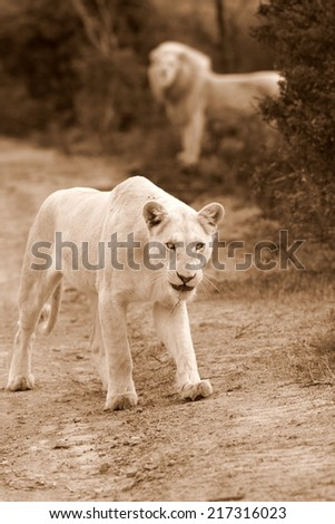 A beautiful portrait of a huge white lioness with a big male in the background. - stock photo