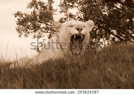 A beautiful portrait of a pure white lioness / lion yawning and showing off her teeth. South Africa - stock photo