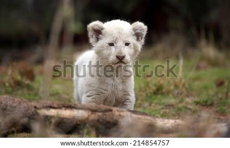 A beautiful portrait of a white lion cub. - stock photo