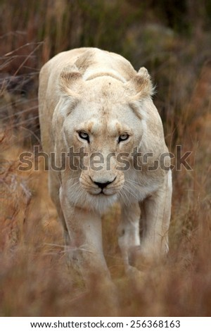 A beautiful portrait of a white lioness - stock photo