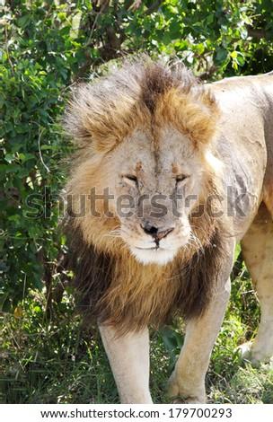 A beautiful portrait of lion in Masai Mara National Park - stock photo