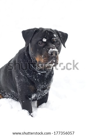 A beautiful pure bred rottweiler dog sitting in deep snow with snow on it's face. - stock photo