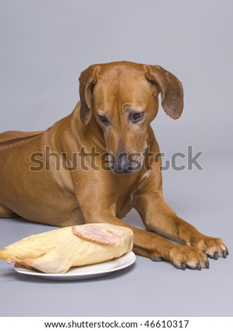 A beautiful  purebred rhodesian ridgeback bitch is lying with a duck. What a temptation. She is watching her dish. - stock photo