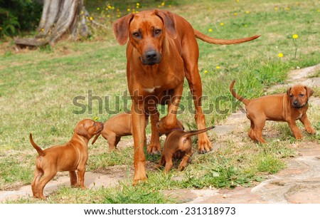 A beautiful purebred Rhodesian Ridgeback female playing with her four puppies outdoors on blurry green grass background. - stock photo