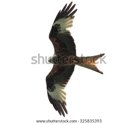 A beautiful Red Kite in flight against the white sky - stock photo