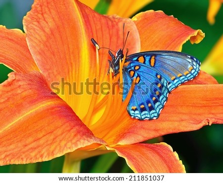 A beautiful Red- spotted Purple butterfly on an orange daylily. - stock photo