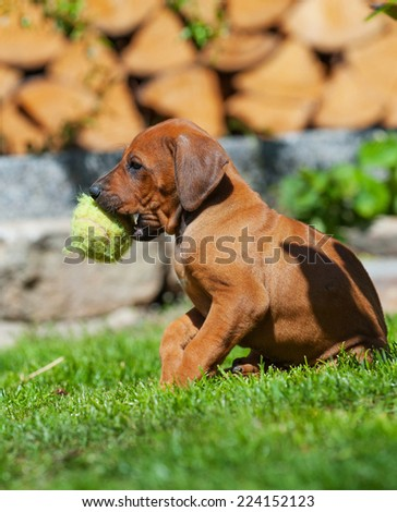 A  beautiful Rhodesian Ridgeback puppy is playing with a dog toy in backyard. Image taken on a sunny day in summer.  - stock photo