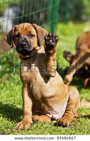 a beautiful rhodesian ridgeback puppy is sitting in the grass and is waving with his paw - stock photo