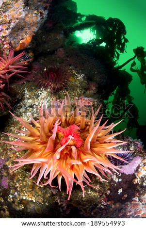 A beautiful sea anemone with extended tentacles exposes its mouth and feeds on plankton from the green, cold water. - stock photo
