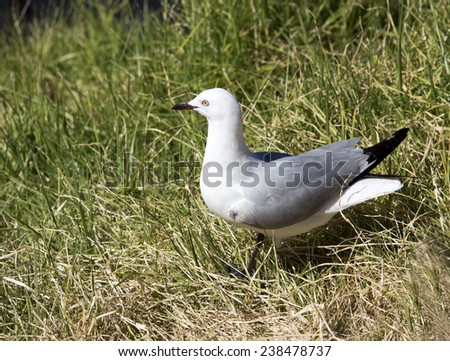 A  beautiful seagull   seabird of the family Laridae in the sub-order Lari   is   standing on the grass in Big Swamp Bunbury Western Australia after eating a piece of bread on a summer afternoon. - stock photo