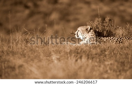 A beautiful sepia tone image of a cheetah on the plains.Taken on safari in Africa. soft focus - stock photo
