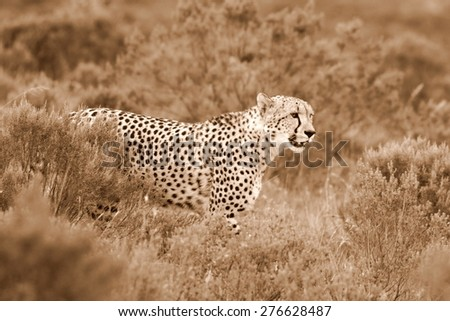 A beautiful sepia tone image of a cheetah walking oven the plains.Taken on safari in Africa. - stock photo