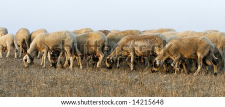 a beautiful sheep group  late in the afternoon - stock photo